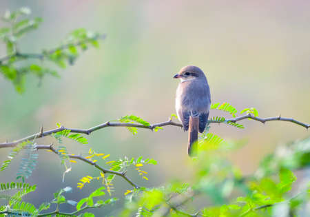 The isabelline shrike or Daurian shrike is a member of the shrike family. It was previously considered conspecific with the red-backed shrike and red-tailed shrike