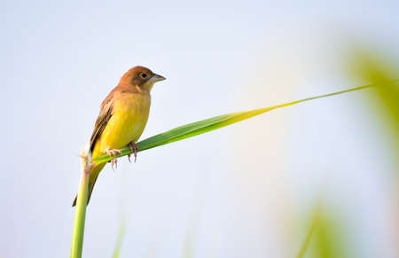 The red-headed bunting is a passerine bird in the bunting family Emberizidae, a group now separated by most modern authors from the finches, Fringillidae.
