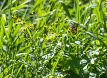 A Monarch Butterfly on flowers and grass.