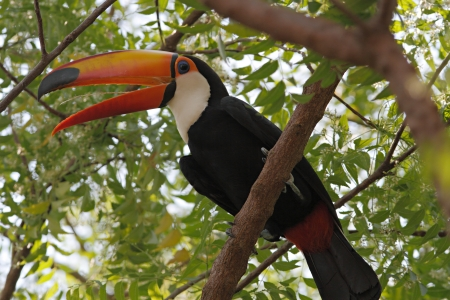 Toco Toucan with tongue sticking out, Pantanal, Brazil