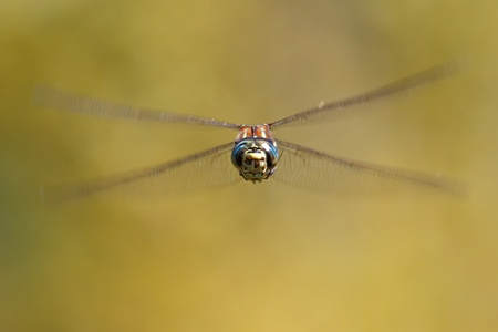 predetor: Dragonfly head-on, near Seattle, USA Stock Photo