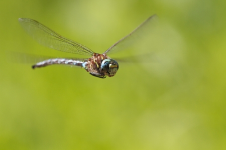 dragonfly wings: flying Dragonfly, near Seattle, USA