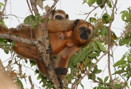 howler: Female black howler monkey with baby  only males are black , Pantanal, Brazil