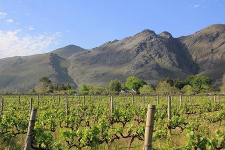 viñedo: Viña y la montaña cerca Franschoek en Sudáfrica Westcape Winelands