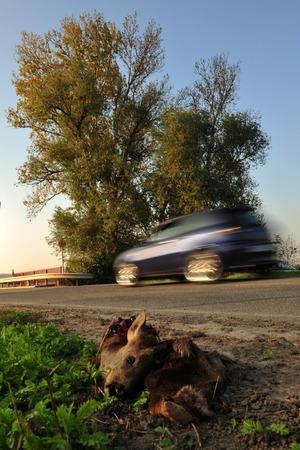 approached: Dead deer killed by traffic on roadside Stock Photo