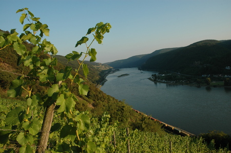 rheintal: Vineyard with river rhine