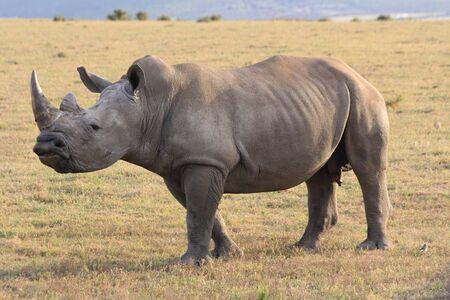 phallus: White rhino in South Africa with huge phallus Stock Photo