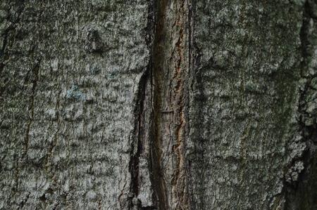 acer saccharum: Sugar maple or acer saccharum bark