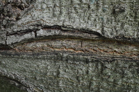 sugar maple: Sugar maple or acer saccharum bark