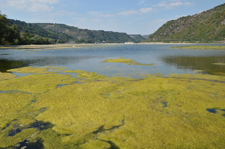 photosynthetic: Bacharach, Germany - August 22, 2015: Algae plague in river rhine during heavy drought in summertime because of global warming Stock Photo