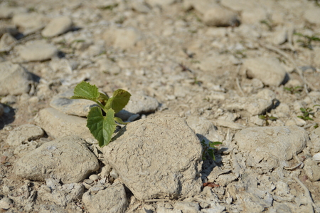 torrid: Lorch, Germany - August 22, 2015: Plants on the banks of river rhine during heavy drought in summertime because of global warming