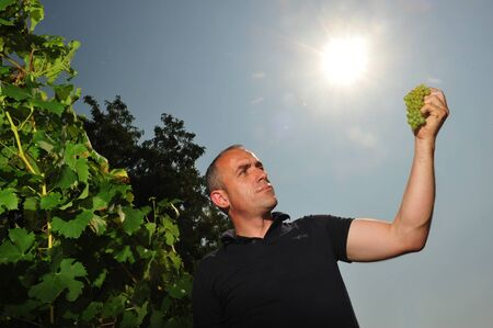 winemaker: Worms, Germany - Jule 3, 2009 - Winemaker holding grape against sun checking quality of recent harvest
