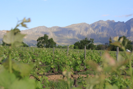 Vineyard and mountain near Franschhoek in South Africa Westcape Winelands Imagens