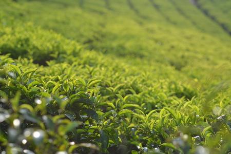 south india: Tea plantation in Munnar, South India