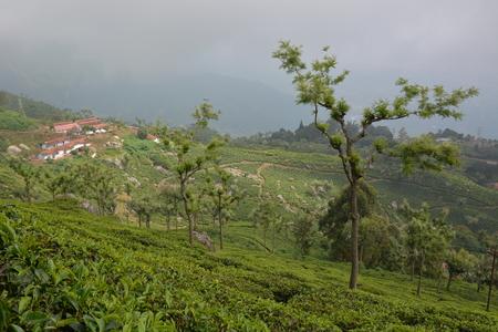 south india: Tea plantation near Munnar, South India