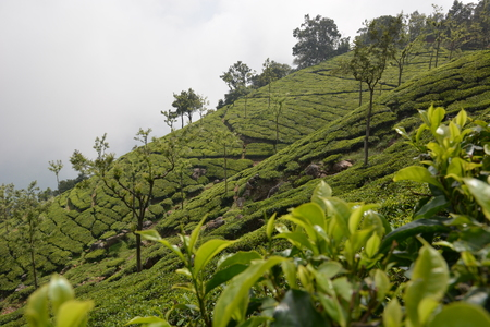 leaves green: Tea plantation in Munnar, South India