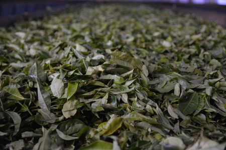 munnar: Tea leafes during processing in fabric in Munnar, South India