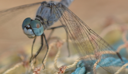 pondhawk: Dragonfly on fishernet