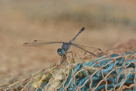 Dragonfly on fishernet