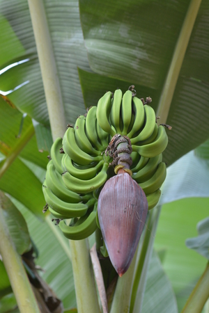 bannana: Banana leaf in Goa, India