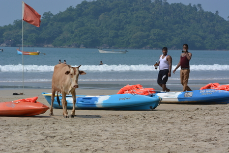 madhya: Palolem, India - October 23, 2015 - Cows on the Beach of Palolem, Goa, South India in sunset. Cows a part of daily life in India and roaming free. Tourists watching cows passing