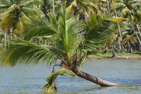 backwaters: Palm tree in indian backwaters