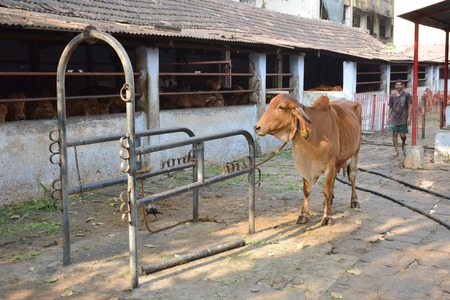 india cow: Mumbai, India - October 19, 2015 - Cow in a stable in the center of Mumbai between skyscrapers
