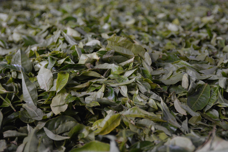 south india: Tea leafes during processing in fabric in Munnar, South India