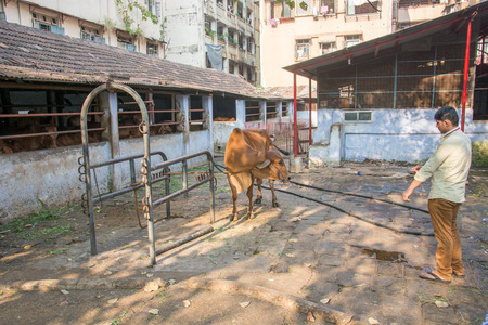 india cow: Mumbai, India - December 11, 2016 - Cow in a stable in the center of Mumbai between skyscrapers Editorial