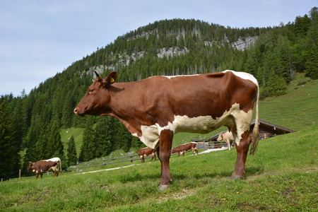 Ramsau, Germany - June 8, 2017 - Beautiful Ramsauer Dolomiten with cows Editorial
