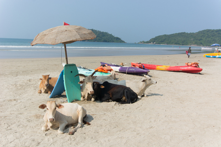 Goa, India - July 8, 2018 - Cows on the beach of Palolem - Goa Banco de Imagens - 116967744