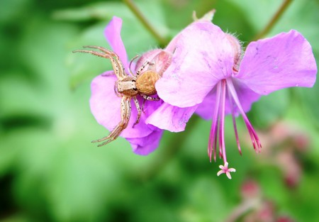 Misumena vatia on pink flower photo