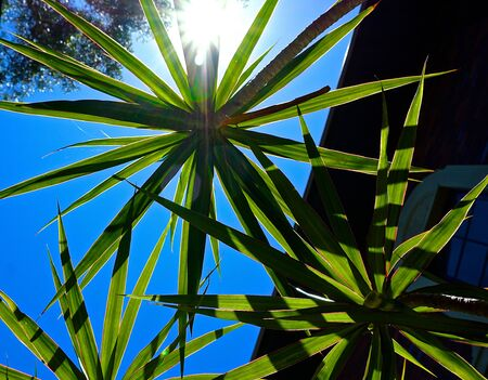 Spreading palm with sun in background