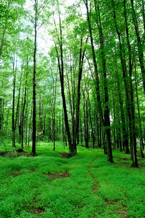 forest trail: A walk through a lush green forest in West Virginia. Stock Photo