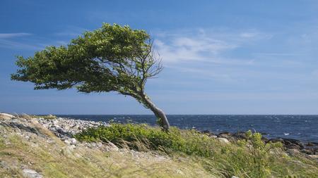 mare agitato: Lonely albero piegato dal vento sulla costa del mare Archivio Fotografico
