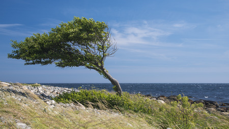 blown: Lonely tree bent by the wind at the sea coast