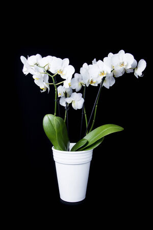orchid flower: Orchid flower in white vase on black background