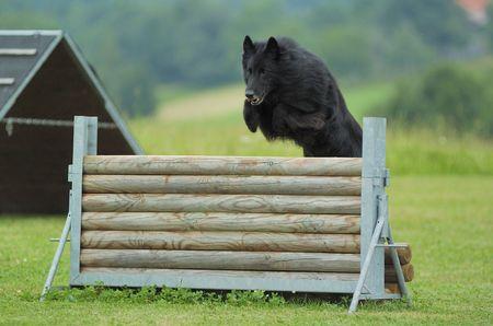 jumping groenendael Standard-Bild