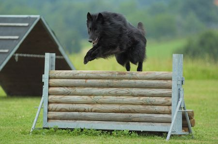 jumping groenendael Stock Photo