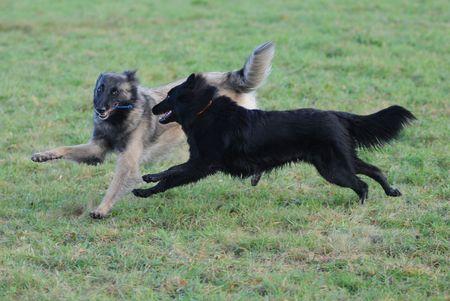 playing belgian shepherd tervueren and groenendael photo