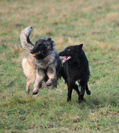 trusty: playing belgian shepherd tervueren and groenendael