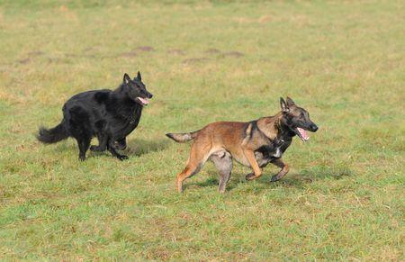 trusty: playing belgian shepherd malinois and groenendael