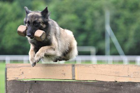 jumping Tervueren