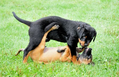 Rottweiler and Malionois puppy playing photo