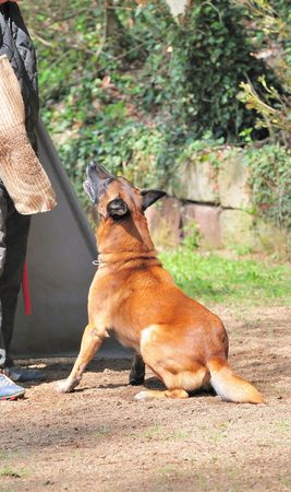 malinois Stock Photo - 4714454