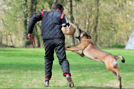 malinois Stock Photo - 4714531