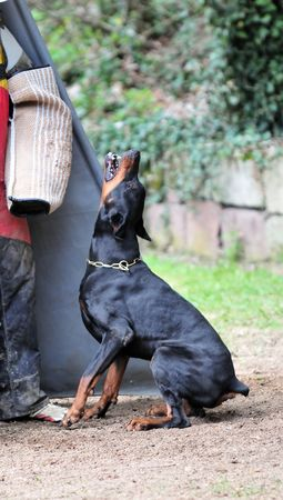 Dobermann Stock Photo - 4714464