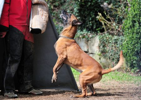 friendly competition: Malinois
