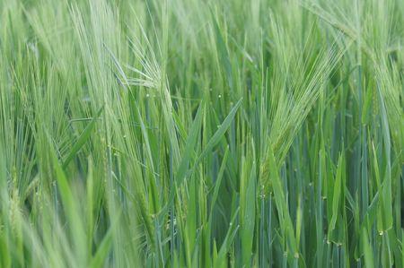 barley field in spring Stock Photo
