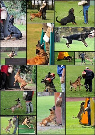 german shepherd on the grass: dogsport collage